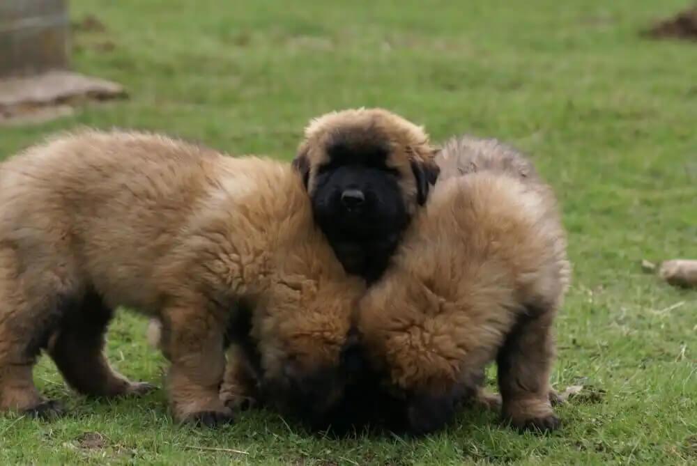 Estrela dağ köpekleri