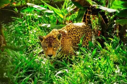Jaguarlar ve Leoparlar Arasındaki Farklar Nelerdir?