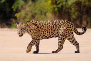 jaguar yürüyor