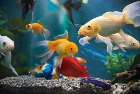 akvaryumda japon balıkları