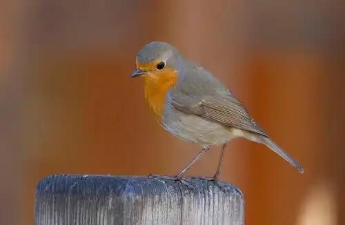 kızılgerdan kuşu