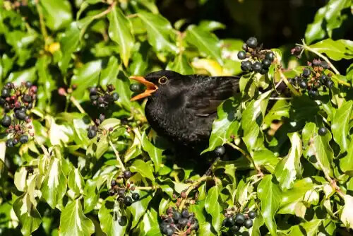 Kara tavuk kuşu