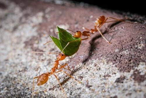 Tarımı İnsanlar İcat Etmedi, Karıncalar Etti