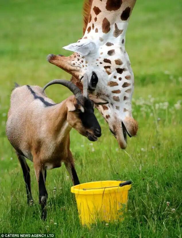 zürafa ve keçinin dostluğu