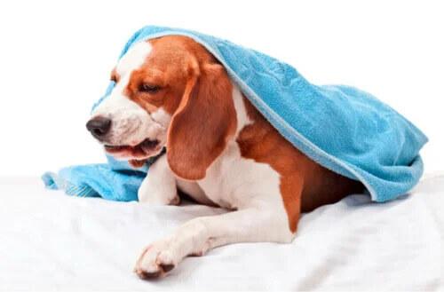Köpeklerde Kennel Cough ve Tanımı