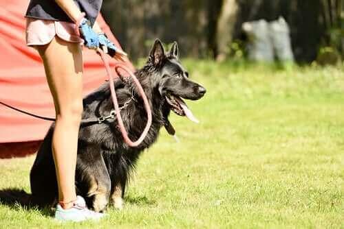 Bu Spor Köpeğinizi Bir Şampiyona Dönüştürecek!