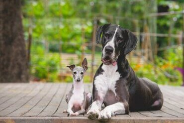 Neden Küçük Köpekler Büyük Köpeklerden Daha Saldırgan Olurlar?
