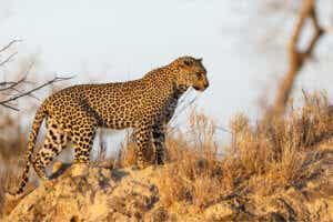leopar çalıların arasında