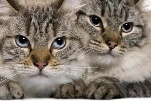 kedilerin çıkardıkları sesler