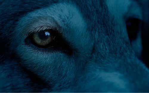 rusya'da bulunan mavi köpekler