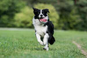 çilerde koşan border collie cinsi köpek