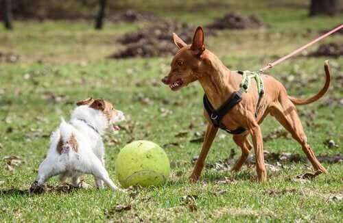 saldırgan köpek başka köpeğe saldırıyor