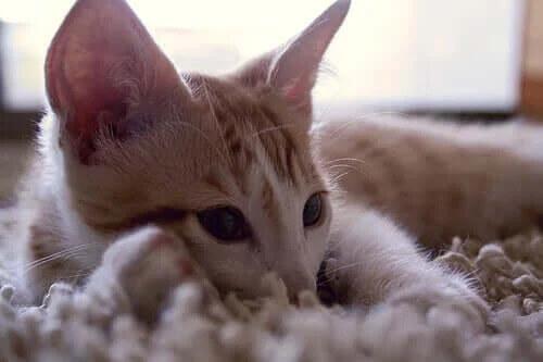 Kedilerin Çıkardığı Sesleri Anlamak