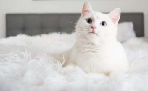 yatakta beyaz kedi