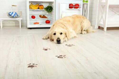 yerde pati izleri ve yatan golden köpek