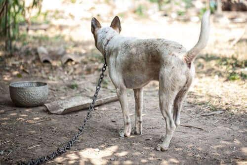Köpeğinizi Bağlı Bırakmanın Tehlikeleri