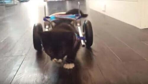 Yeni Teknolojiler Sayesinde Yeniden Yürüyen Kedicik Cassidy ile Tanışın