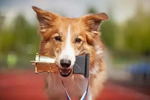 ağzında ödül tutan köpek