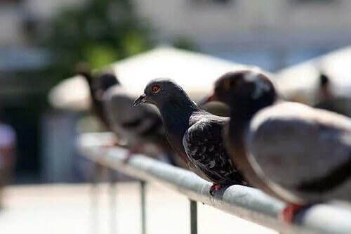 Büyük Şehirlerde Güvercinler: Büyük Bir Veba