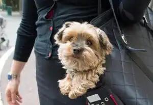 çantada taşınan köpek