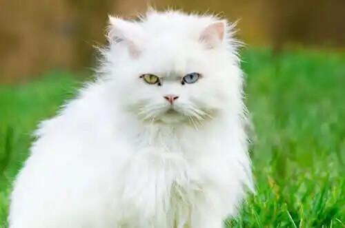 çimlik alanda oturan beyaz tüylü kedi