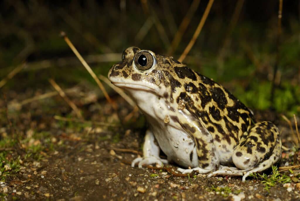 Trakya Toprak Kurbağasının Özellikleri