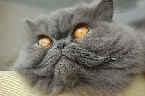 En Popüler Kedi Irkları