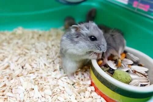 Hamsterların Davranışları Hakkında Bilmeniz Gereken Her Şey