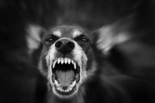 havlayan agresif köpek