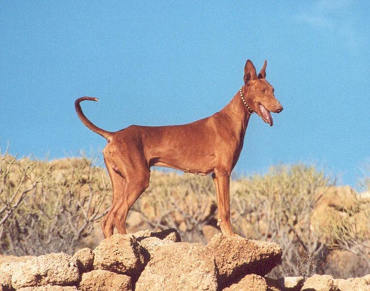 Podenco Canario: İlginç Bir Köpek