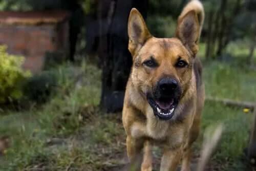 Köpeklerde Kuduz: Belirtileri ve Tedavisi
