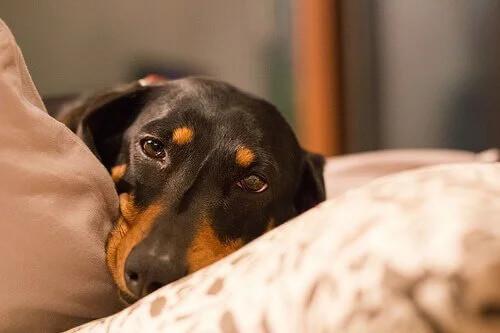 Köpeklerde Şişkinlik Nasıl Önlenir ve Tedavi Edilir