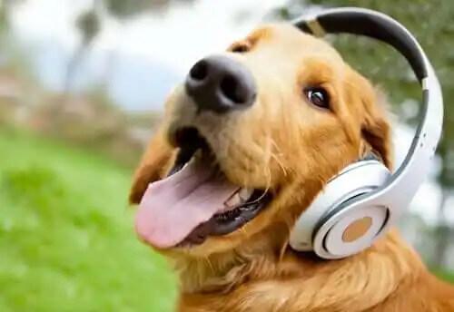 kulaklıklı köpek