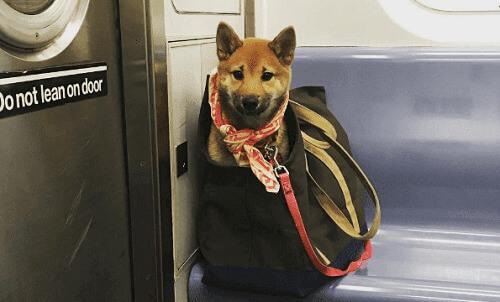 Köpek Sahipleri Köpeklerini New York Metrosuna Sokmak İçin Ne Yapıyorlar?