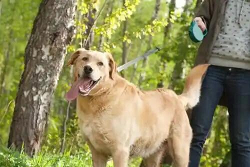 sahibiyle dili dışarıda yürüyen köpek