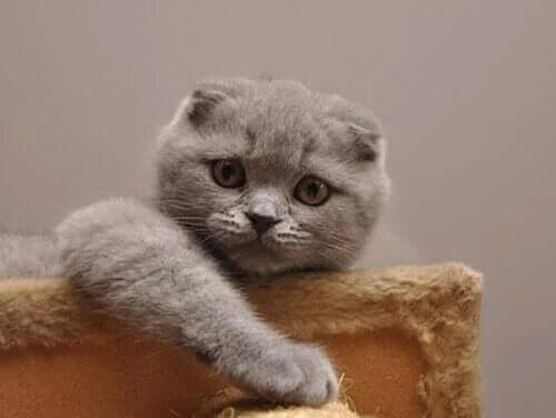 Scottish Fold: Dünyanın En Tatlı Kedisi