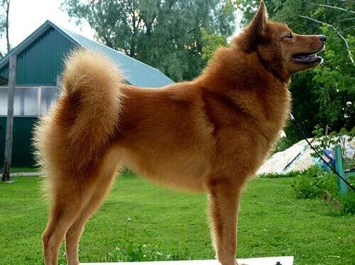 Finlandiya, fin spitz köpeği