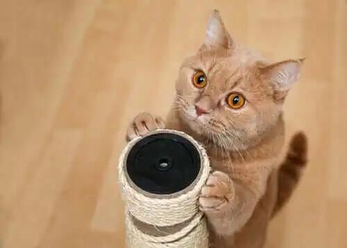 tırmalayan açık renkli kedi