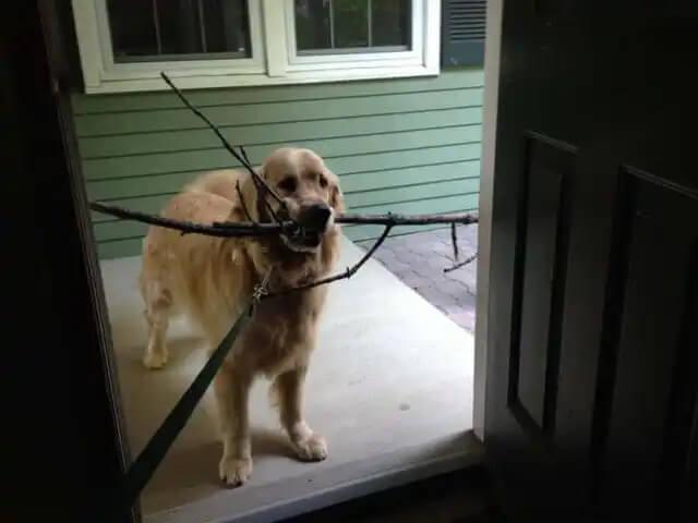 ağzında dallar tutan komik köpek Watson