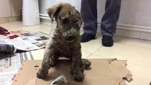 Köpek Yavrusu Pascal, Tutkala Kaplanıp Ölüme Bırakıldıktan Sonra Kurtarıldı