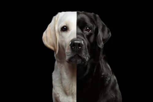Köpek Klonlama - Yasal Bir İş mi?