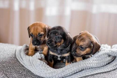 Yavru Köpeklerin Neden Diğer Köpeklerle Etkileşime Girmeleri Gerekir?