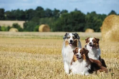 Avustralya Çoban Köpeğinin Özellikleri