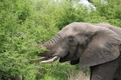 agaç yiyen fil