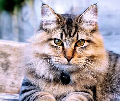Kedi Irkları: Amerikan Bobtail Kedisini Keşfedin