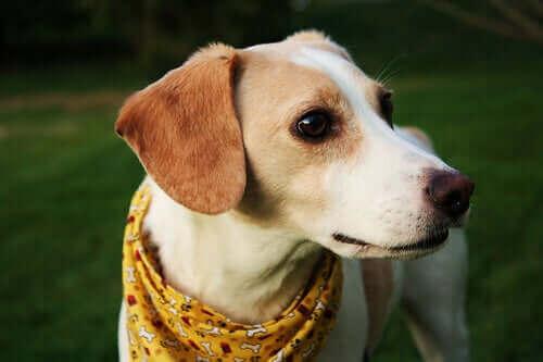 Köpeklerde Babesiosis: Kene İle Bulaşan Bir Hastalık