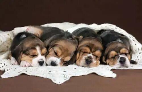 yan yana yatan yavru beagle köpekleri
