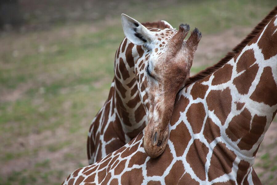 Zürafa: Özellikleri, Davranışı ve Habitatı