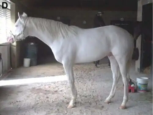 ahırda duran beyaz safkan at