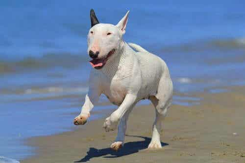 bull terrier sahilde koşuyor